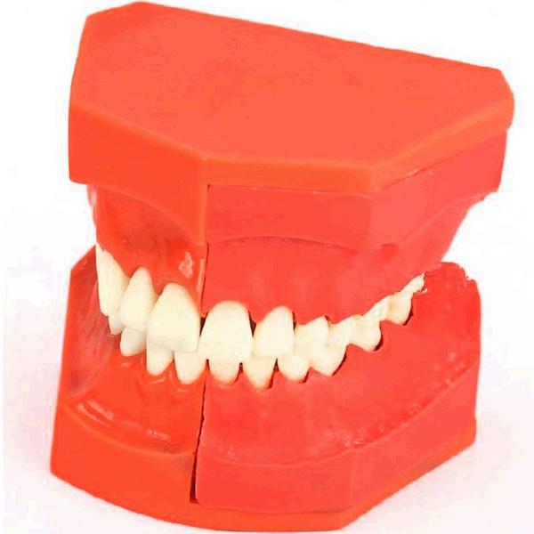 Wish Dentural Development Model Dental Tooth Teeth Anatomical