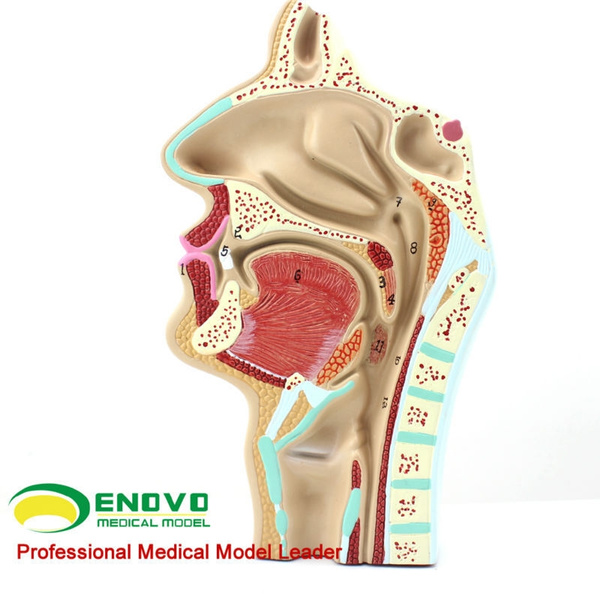 Wish Human Ent Physiology Nasal Cross Section Anatomy Model Of