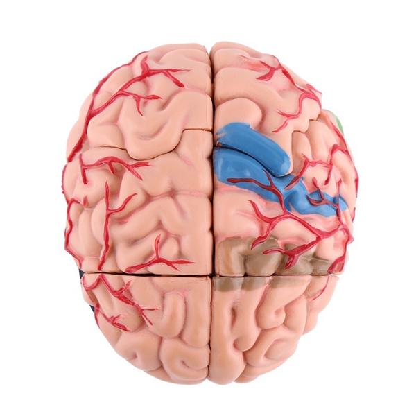 Ccy Brain Model Human Brain Skull Anatomical New Anatomy Learning Models Medical Body