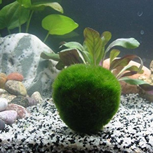 Marimo Moss Balls Live Aquarium Decoration Plant Algae Fish