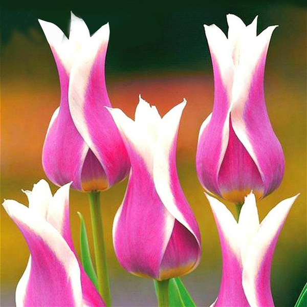 100pcs Tulip Seeds Tulip Flower Seeds Perennial Potted Plants
