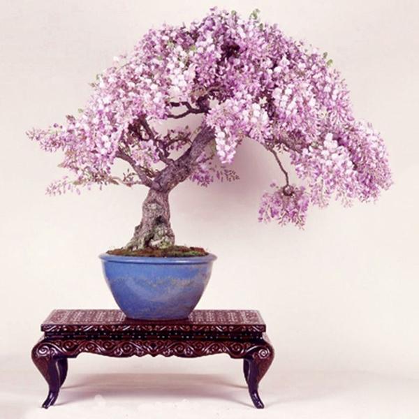 10Pcs Wisteria Sinensis Seeds Ornamental Flower Garden Yard Office Bonsai Decors
