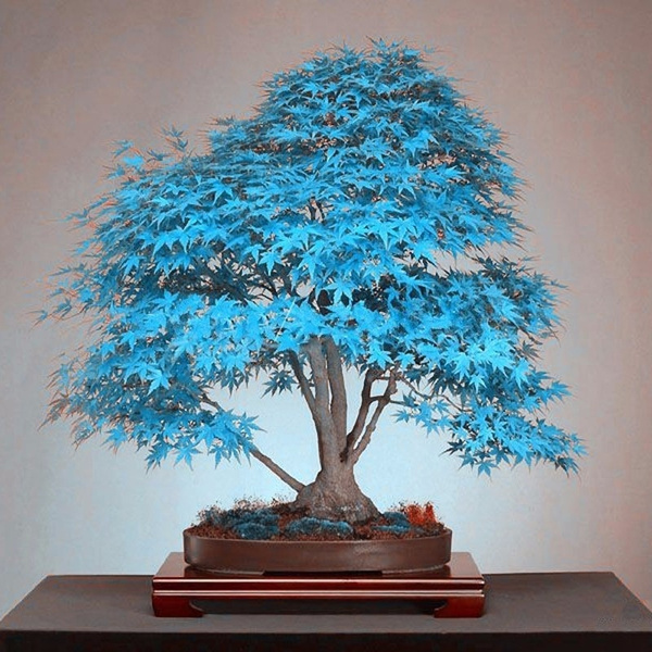 20pcs Rare Japanese Blue Maple Tree Seeds Bonsai Plant Seed Balcony Decor Garden