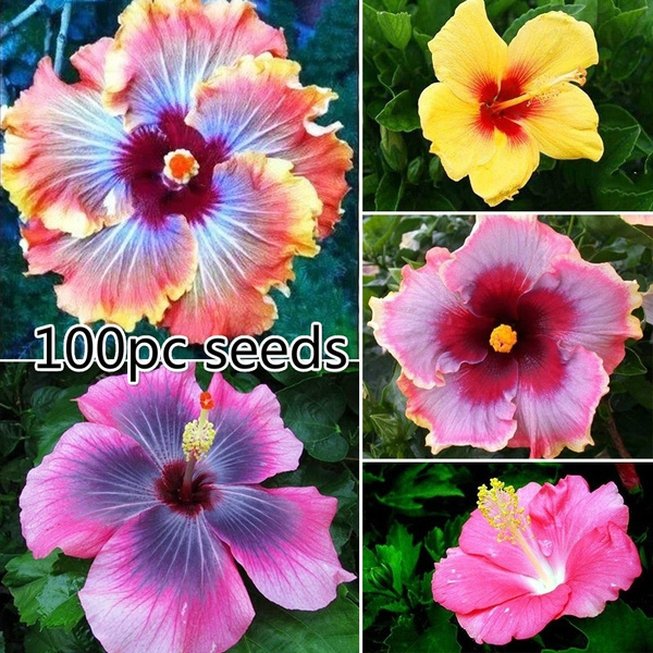100pcs Beautiful Hibiscus Flower Moon Every Day The Courtyard