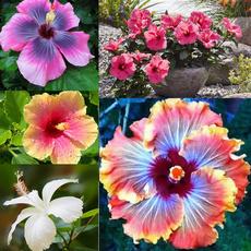 Bonsai, Beautiful, Plants, hibiscusflower