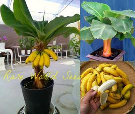 Bonsai, bananaplant, Plants, Garden