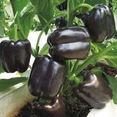 plantsseedsbulb, Bell, purple, purplebellsweetpepperseed