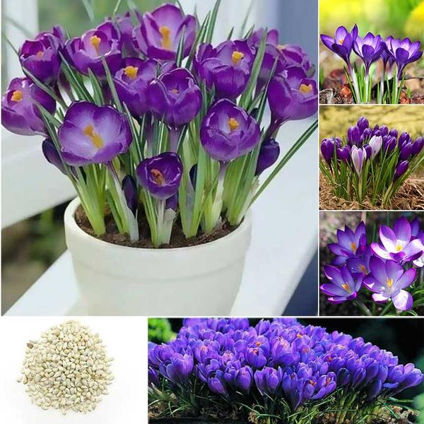 Hot Sale 100pcs Varieties Saffron Seeds Saffron Flower Seeds