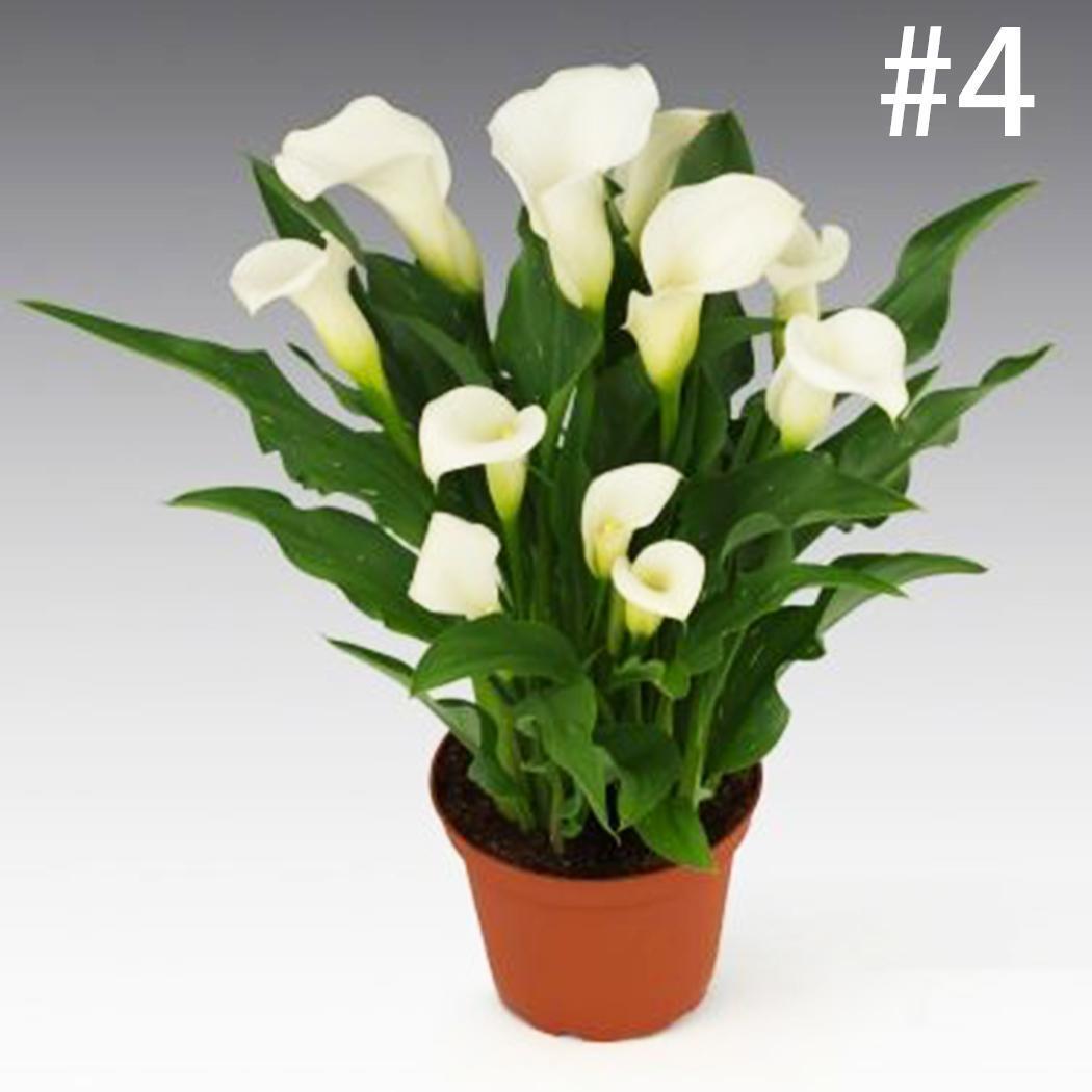 5 x Zantedeschia Aethiopica arum lily seeds.