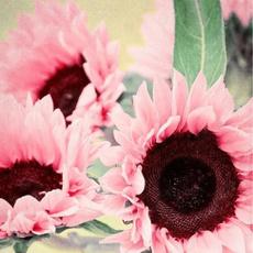 sunflowerseed, Flowers, Garden, Sunflowers