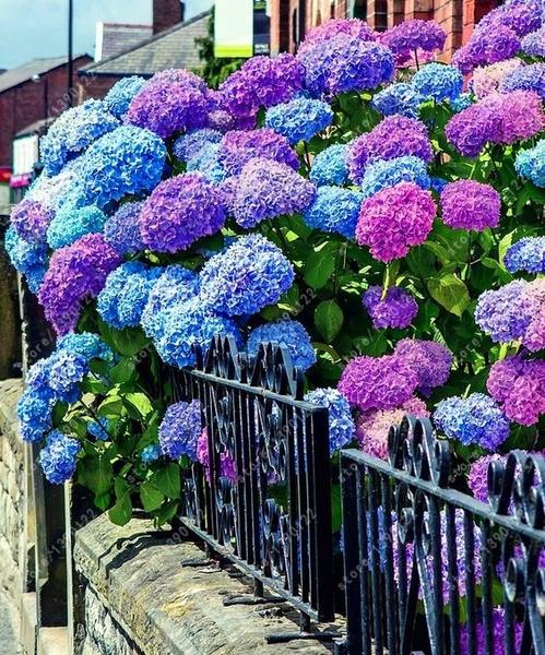 Bonsai, Flowers, hydrangeaseed, perennialseed