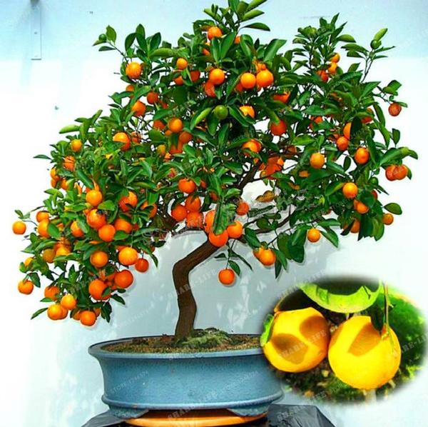Buy Bonsai Orange Tree Bonsai Tree
