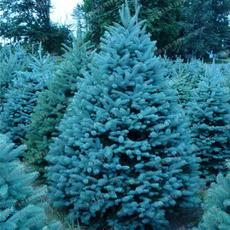 Blues, Bonsai, christmastreeseed, Outdoor