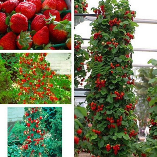 Bonsai, Garden, climbfruitseed, gardensupplie