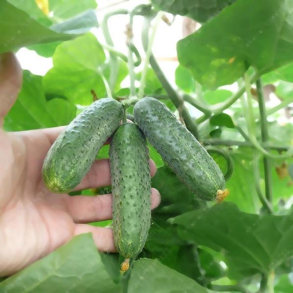 Gardening Supplies, packvegetableseed, cucumberseed, Seed