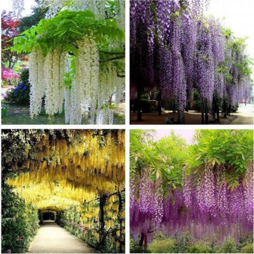 20 Seeds Pack Wisteria Seeds Bonsai Wisteria Tree Indoor