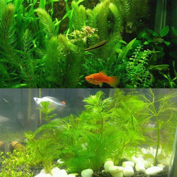 Aquarium Green Grass Aquatic Plant Seed Hornwort Seeds Ceratophyllum  Demersum L seeds 100 Pcs/bag