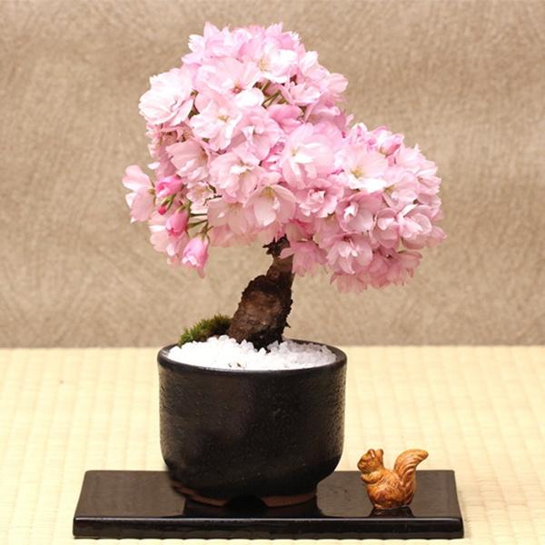 Flowering Sakura Bonsai Seeds 10 Japanese Cherry Blossom Bonsai Seeds Ready To Plant Patio Lawn Garden Plants Seeds Bulbs