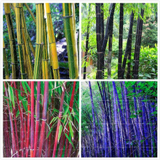phyllostachy, Home & Kitchen, Embellishments, Home Decor