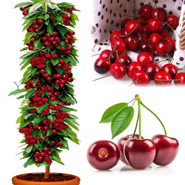 Bonsai, cherrytreeseed, deliciouscherryseed, fruitcherryseed