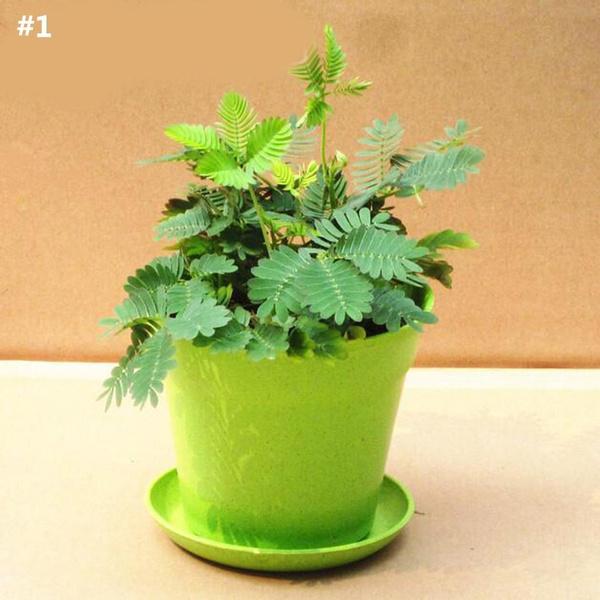 30pcs Bashful Grass Seeds Mimosa Pudica Sensitive Plant Seeds Bonsai Garden