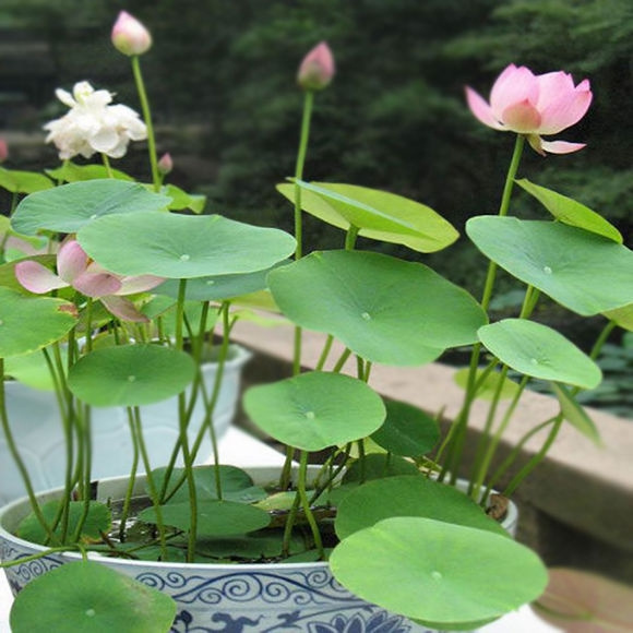 20pcs Bag Lotus Flower Seeds Aquatic Plants Bowl Water Lily Perennial Plant For Home Garden Mix