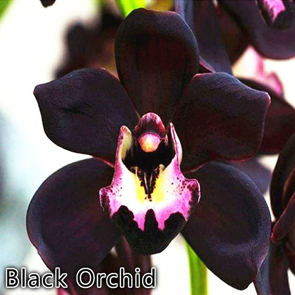100pcs Rare Black Orchid Flowers Exotic Spieces Orchid Seed