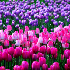 perfumetulip, planting, Decor, Flowers