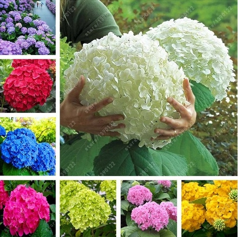 20 Pcs Bag Hydrangea Seed Bonsai Flower Seeds China Hydrangea