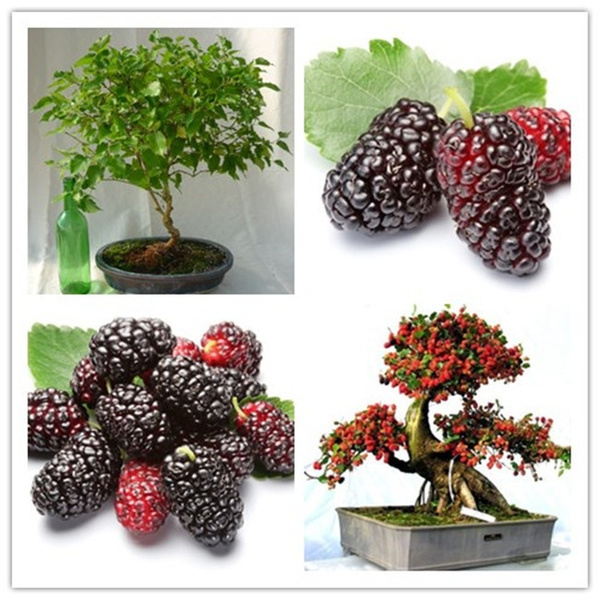 10pcs Mulb Erry Bags Mulberry Fruit Seeds Diy Home Bonsai Morus Nigra Tree Black Mulberry Seeds