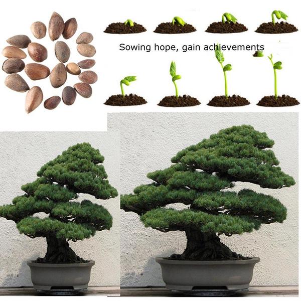 Bonsai, Home & Kitchen, Plants, Home & Office