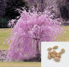 pink, Bonsai, cherrytreeseed, Garden