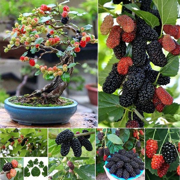 200pcs Black Seeds Morus Nigra Tree Garden Bush Seeds Diy Home Garden Bonsai Rare Mulberry Seeds