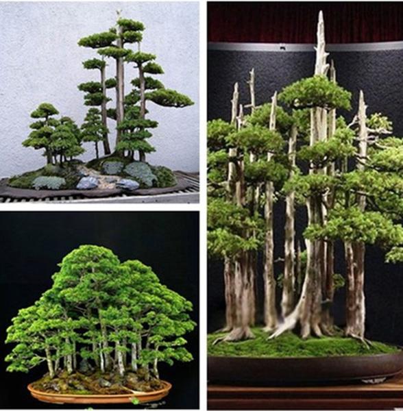 Bonsai, Plants, pineseed, outdoorliving