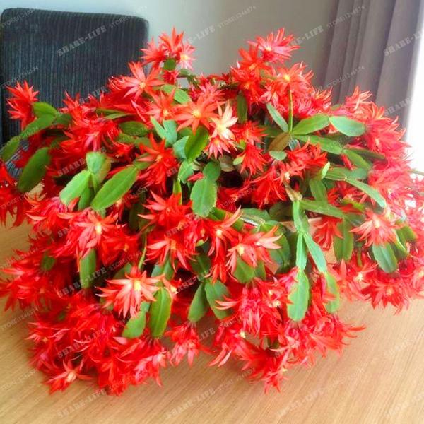 epiphyllum, Plants, Flowers, zygocactu