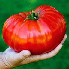 redtomatoseed, tomatored, russiantomatoseed, gianttomatoseed