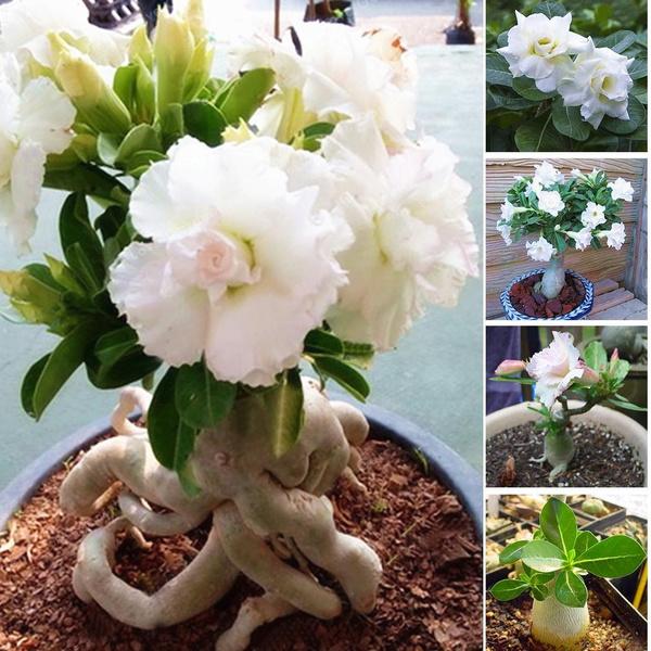 Bonsai, whiteroseseed, Home Supplies, flowerpotsplant