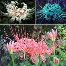 lycorisbulbseed, Flowers, lycorisradiataseed, Indoor