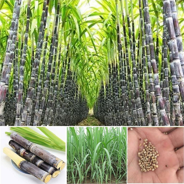 50/100 Pcs Delicious Succulent Sugar Cane Seeds Vegetable and Fruits Seeds  for Home Garden Farm Saccharum Officinarum Plant Seeds