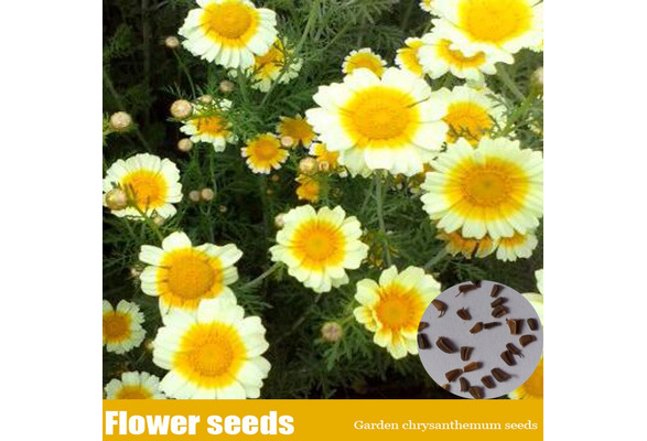 The Single Strategy To Use For Where To Buy Chrysanthemum Seeds