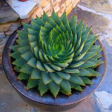 aloeveraseed, Bonsai, rareherbseed, Garden