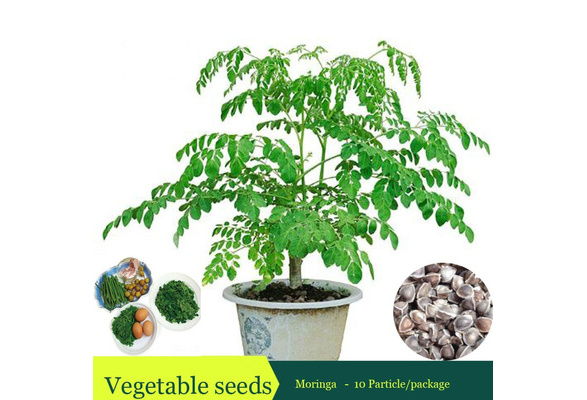 New Arrival Edible Seed Plant Moringa Tree Seeds Diy Plant For Home Garden 10 Particles Bag Home