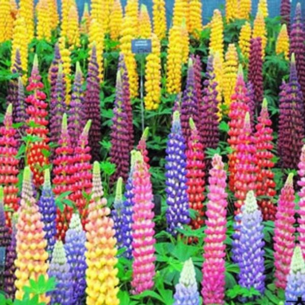 100 Mixed Russell Lupine Seeds Lupinus Beautiful Polyphyllus-Flower Garden Neu