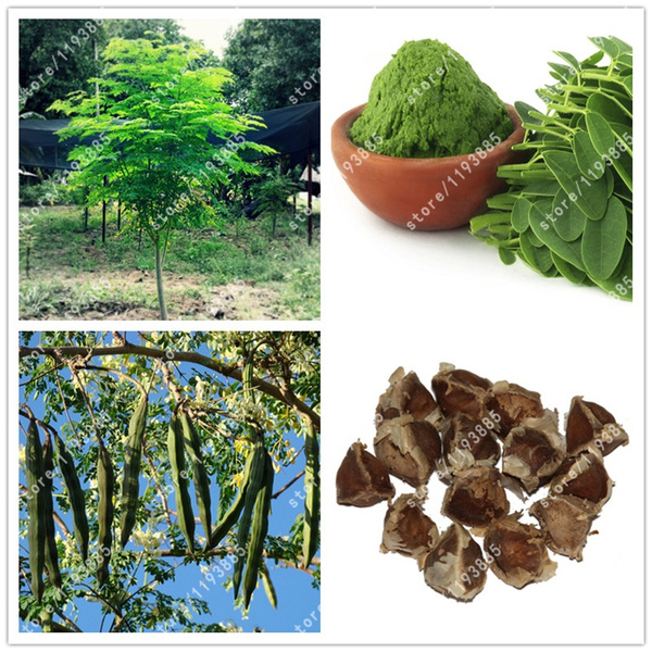 10pcs//bag Moringa oleifera tree Edible seeds DRUMSTICK TREE bonsai potted plant
