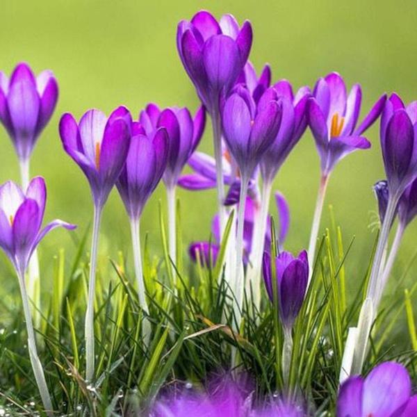 100pcs Rare Crocus Sativus Seeds Bonsai Saffron Flower Seed Home