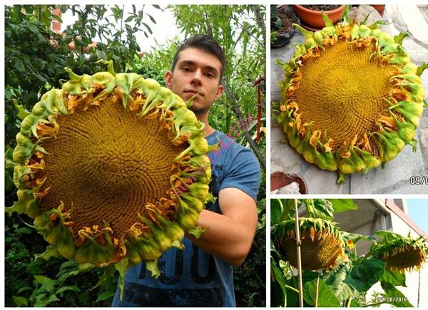 sunflowerseed, Plants, Fashion, Sunflowers