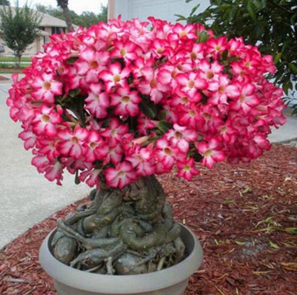 20 Seeds Adenium Obesum Desert Rose Seed Garden Flower Plant Bonsai Decor