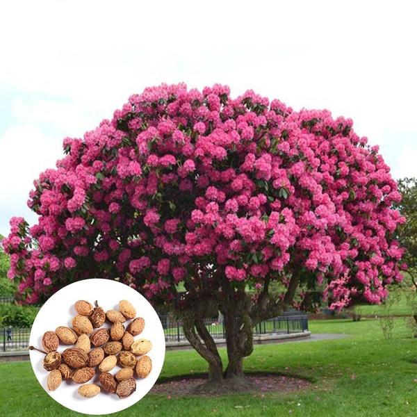 giantpinksakuratreeseed, pink, cherrytreeseed, flowerpotsplant