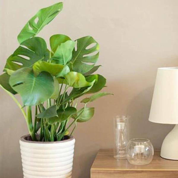 300 pcs Evergreen Monstera Seeds Bonsai Perennial Flowers Garden Decor  Plant Vertical Greening Material