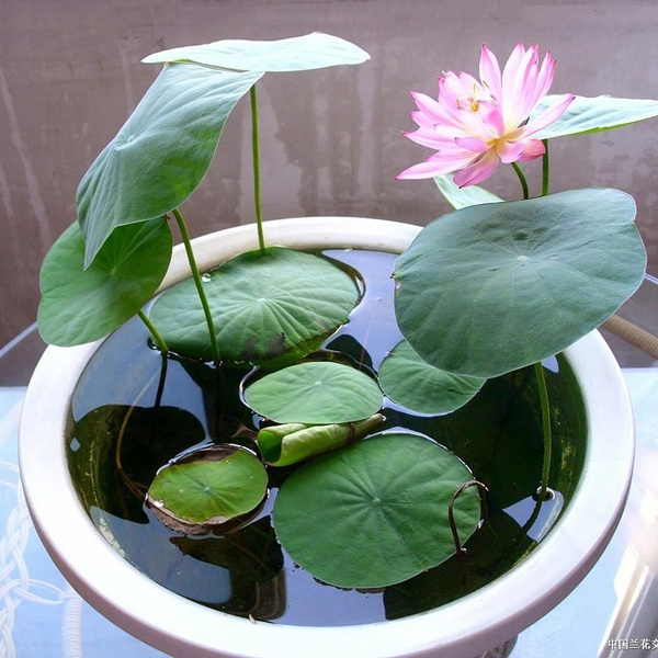 20 Pcsbag Mix Lotus Seeds Many Varieties Mixed Packaging Lotus